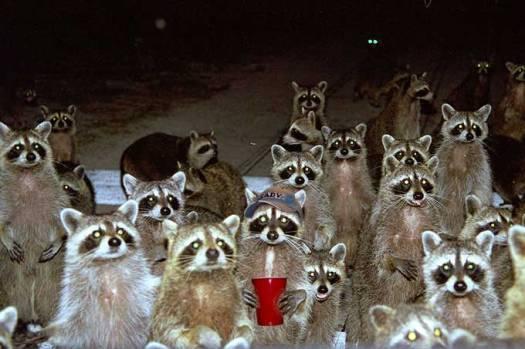 raccoons8jqiu7